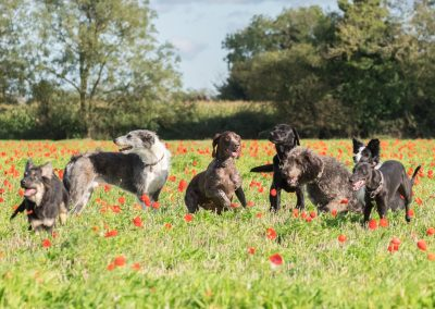 Group of dogs playing in field of grass and poppies.SummerNorfolk,UK