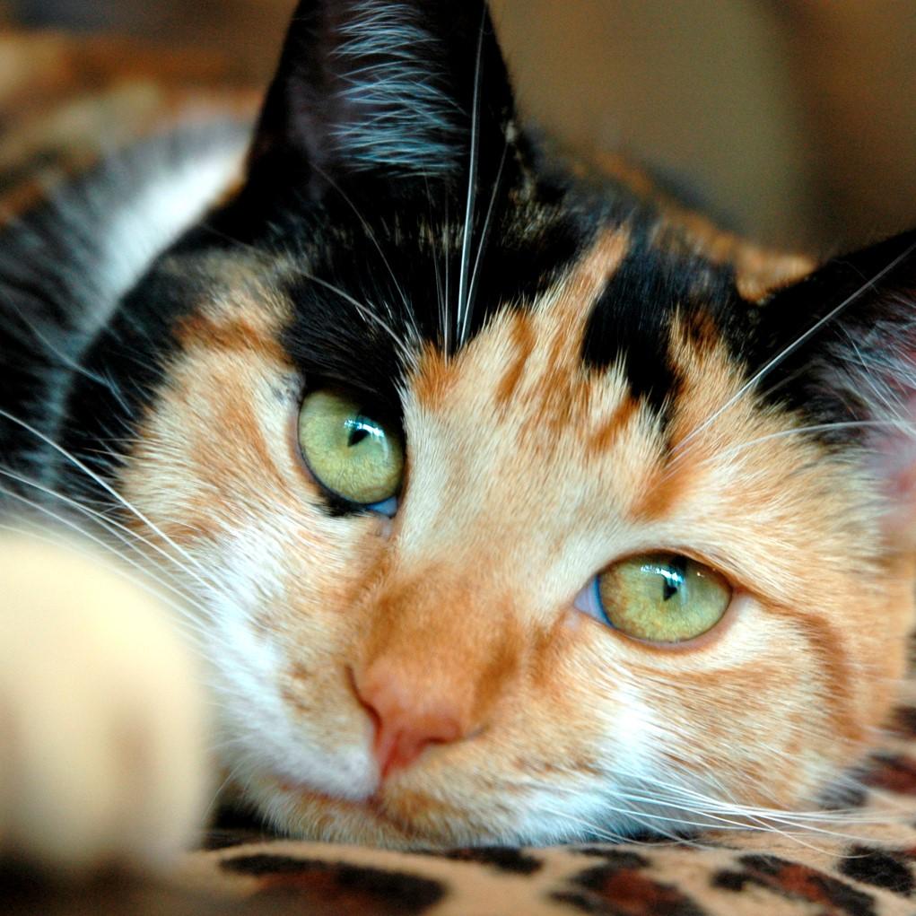 calico-cat-1561588
