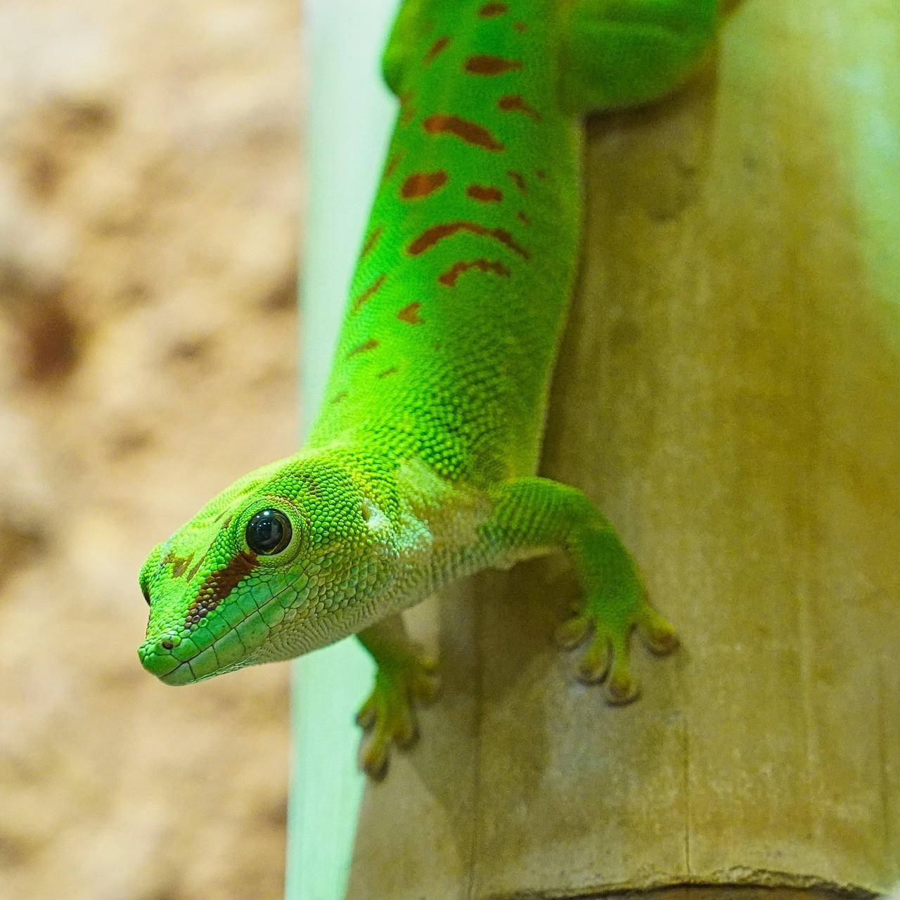 gecko-4785198_1920