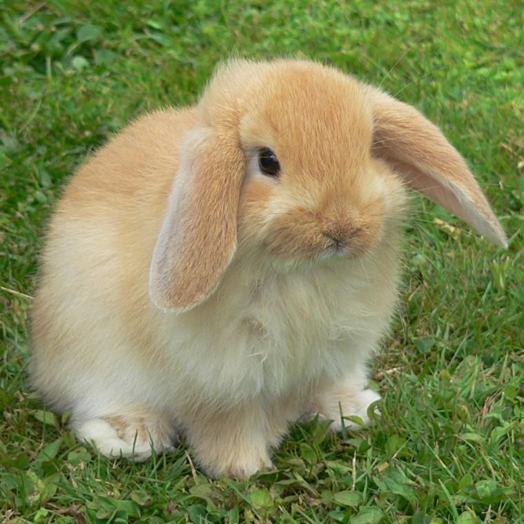mini-lop-bunny-1544971