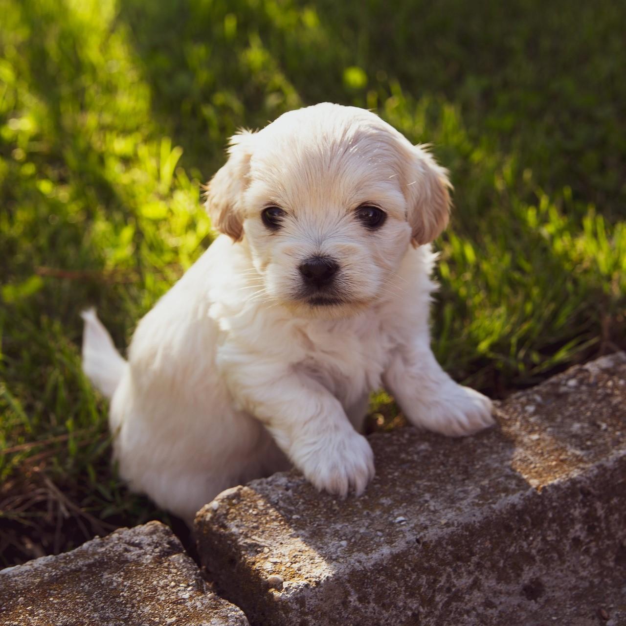 puppy-4234435_1920